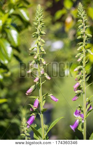 Purple Foxglove (Digitalis purpurea) two plants flowering in a Garden