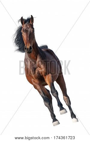 Beautiful bay stallion run gallop isolated on white background