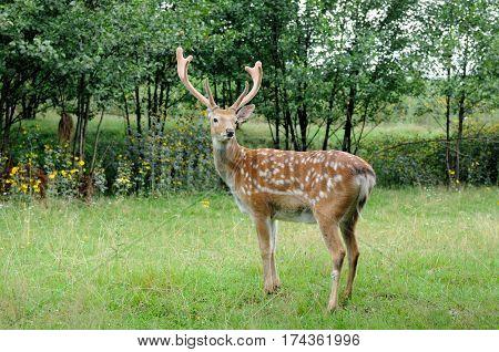 Whitetail Deer standing in summer wood .