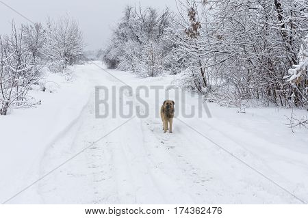 Lonely mixed breed black dog standing on a snowy earth road looking around