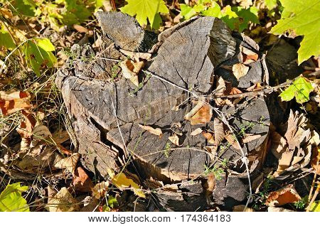 old maple tree stump in the autumn forest