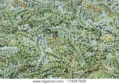 Sea grapes Green Caviar Umi budo ** note select focus with shallow depth of field