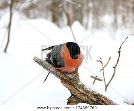 The bullfinch with a red breast sits on a dry branch