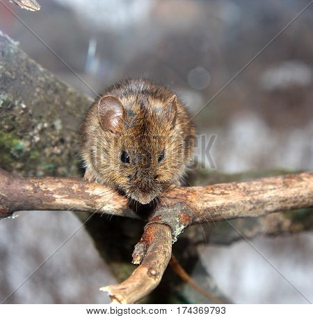 The forest mouse sits on a dry branch