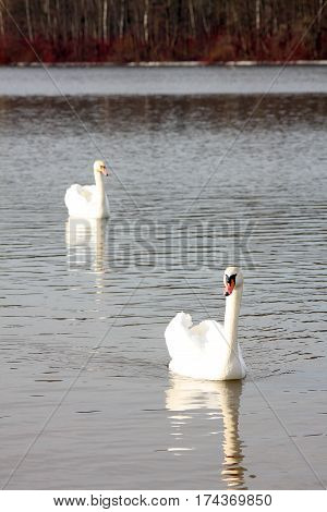 Two white swans on the lake in the spring sunny day