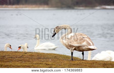 White swans have returned from a wintering on the native lake