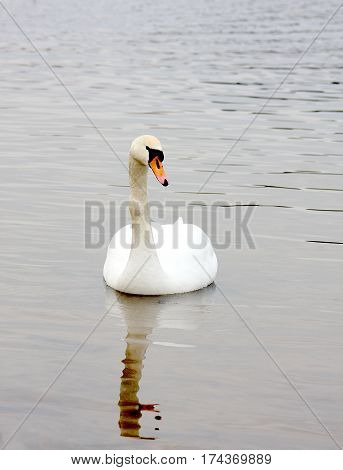 Graceful white swan on a water smooth surface of the lake