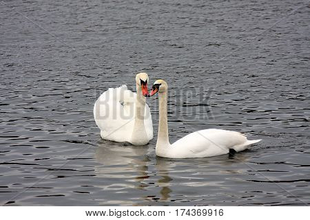 Two white swans on the lake in the spring day