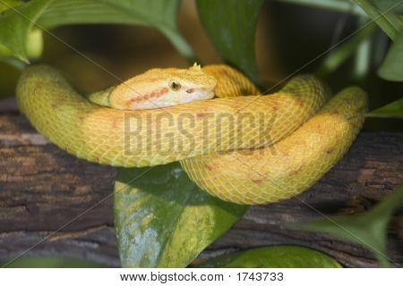Eyelash Viper