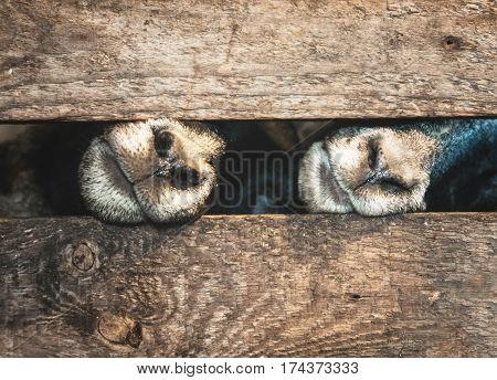 sheep in a wooden cage asking for food