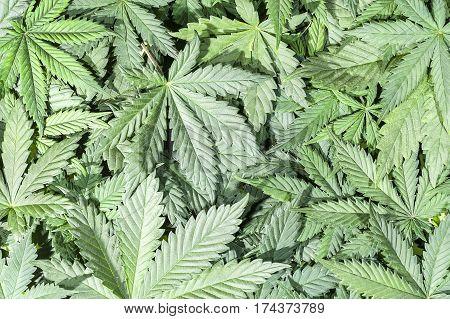 Full frame of green cannabis / hemp / ganja / marihuana leafs.