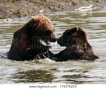 A playful pair of brown bears (Ursus arctos) splash with each other in an Alaskan stream.