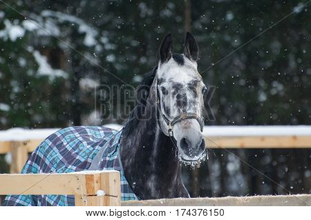 Portrait of a thoroughbred horse grey spotted under the snow. Walking race horses during the cold season in the blankets. Trotter apple coat is winter in the outer paddock