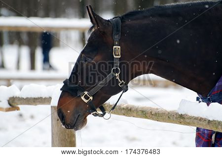 Thoroughbred horse in bridle and blanket is under the snow. Walking race horses during the cold season. Trotter brown color is winter in the outer paddock.