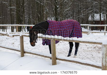 Horse in blanket standing under snowfall. Walking race horses during the cold season. Trotter brown color is winter in the outer paddock.