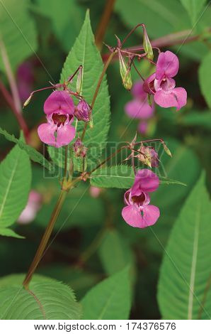 Indian Balsam Himalayan pink red jewelweed I. Impatiens glandulifera flowers large detailed vertical decorative Policeman's Helmet flower Bobby Copper Tops Gnome's Hatstand hat-shaped macro closeup orchid-like ornamental plant introduced invasive