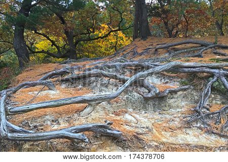 Colorful autumn trees stand guard behind the exposed roots at Starved Rock State Park. The deteriorating sandstone can not hid the roots anymore. They interwine with each other in a supernatural dance above the ground.