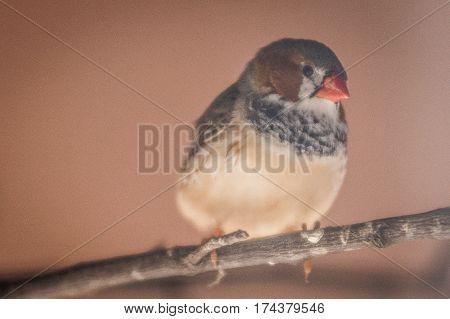 Bird - Uccellino con becco rosso su ramo