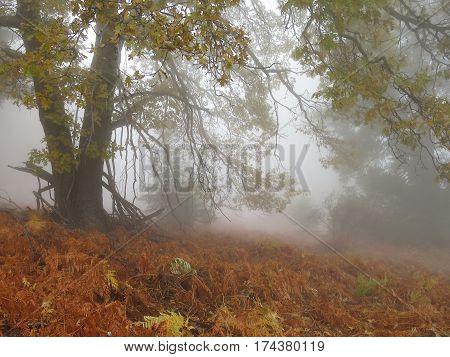 Black oak (Quercus kelloggii) and colorful bracken fern in cloud fog on Palomar Mountain, California, in autumn.