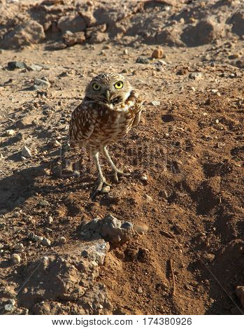 Solitary little Burrowing Owl (Athene cunicularia) standing by its burrow, facing the camera, near the Salton Sea, California.