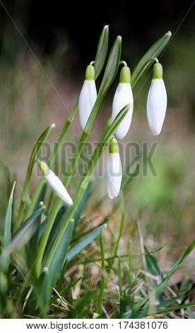 Snowdrop (Galanthus sp.), Spring, nature, blossom, flower