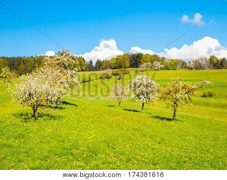 Spring time sunny landscape with blooming cherry tree orchard, lush green grass, blue sky and white clouds.