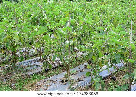 Eggplant ( pear shoped ) on plantation