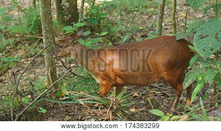 Profile view of White-tailed deer in the jungle. Common names: Venado cola blanca. Scientific name: Odocoileus peruvianus