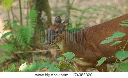 White-tailed deer in the jungle. Common names: Venado cola blanca. Scientific name: Odocoileus peruvianus