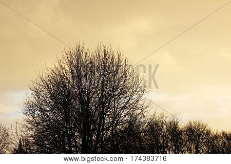 snow cloud and trees painted in gold color of the setting of the spring sun.