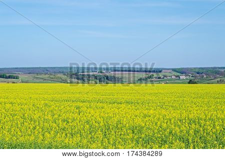 Field of flowering canola at the hilly outskirts of the village in the forest-steppe part of the European Continent