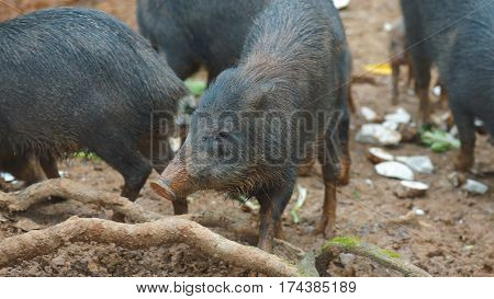 Herd of peccary pig eating. Common names: Sacha kuchi, Pecarí de labio blanco, Puerco sajino, Huangana. Scientific name: Tayassu pecari