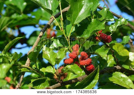 Mulberry tree in garden, The leaves of mulberry tree contains nutrients that are used as a food for silkworms and grows in bunches called