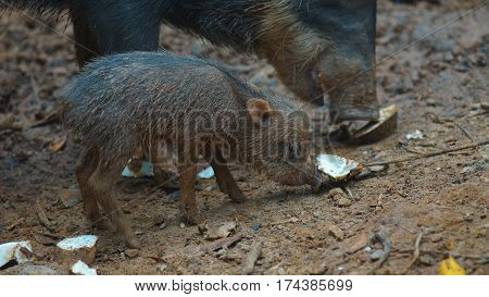 Peccary pig eating with her baby. Common names: Sacha kuchi, Pecarí de labio blanco, Puerco sajino, Huangana. Scientific name: Tayassu pecari