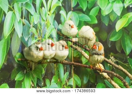 Zebra Finch birds sitting on branches green leaves