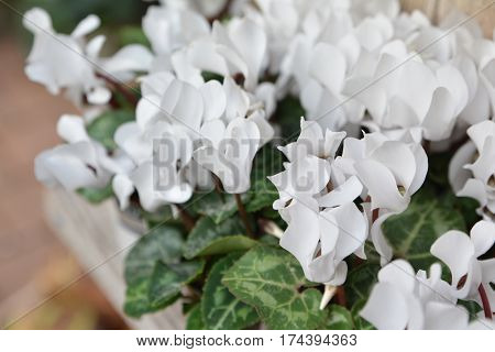 Many white cyclamens flowers for background. Stalk