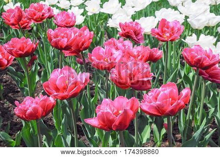 Terry crimson and white double tulips. Background
