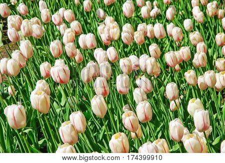 Pale pink tulips (Tulipa). The Sort Of