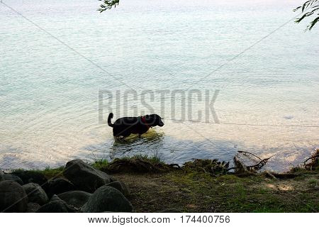 A black Labrador retriever dog wades in the water along the waterfront of Harbor Springs, Michigan during August.