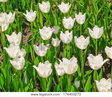 Varietal breeding white fringed tulips Daytona (Tulipa)