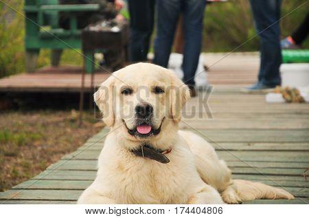 Собака, золотистый ретривер, щенок, друг, мило, природа