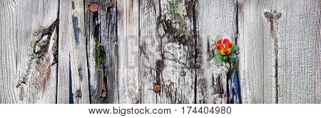 Viola flower blossom on old wooden pier boards with rusty bolts