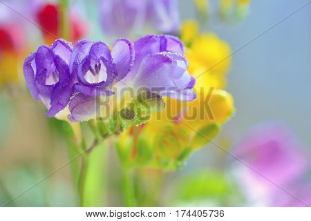 Bouquet of freesias flowers in vase