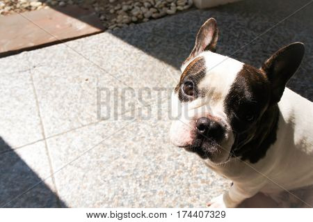 French bulldog on the floor , a French bulldog