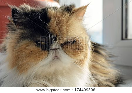 The cat of the Persian breed sits on a window sill. Close up of a muzzle of a cat. Cat three-colored: yellow white black. Indoors. Horizontal format. Daylight. Color. Photo.