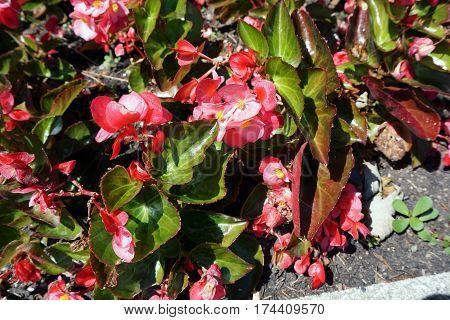 New Guinea impatiens (Impatiens hawkeri) bloom in a garden in Joliet, Illinois during June.