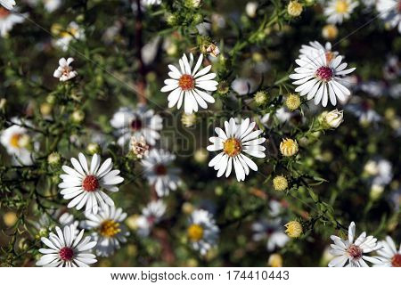 Frost asters (Symphyotrichum pilosum), also called hair asters and hairy white oldfield asters, bloom in Joliet, Illinois, during September.