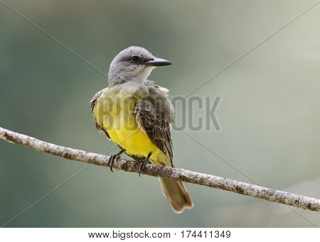 Tropical Kingbird Perched On A Branch - Gamboa, Panama