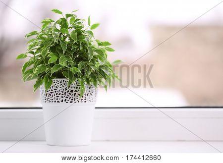 Beautiful ficus in pot on windowsill