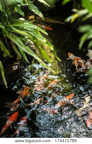Koi fish in a pond on a sunny day
